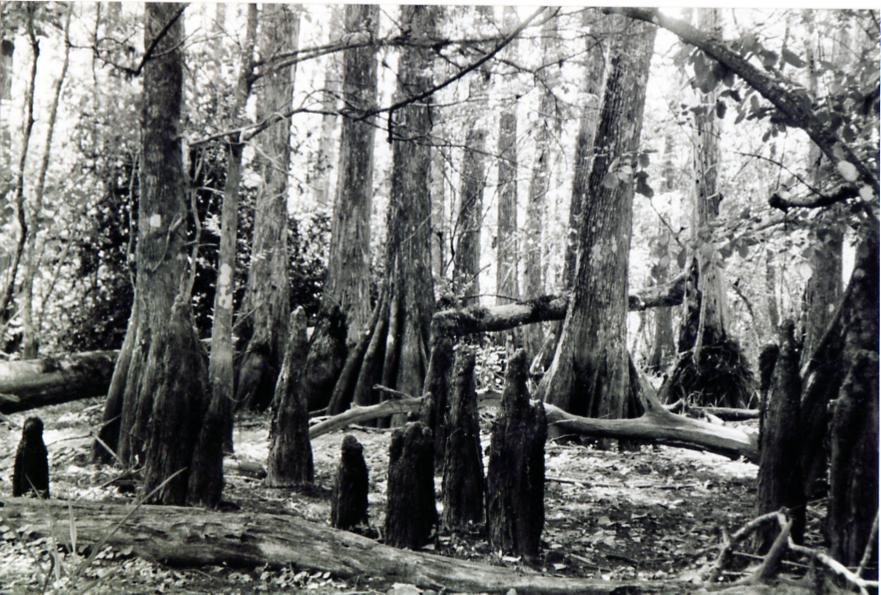 'elbows' in Big Cypress